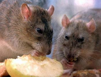 Nuestra empresa manejo integral en control de plagas for Ahuyentar ratas jardin